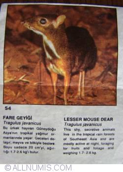 54 - Lesser Mouse Dear (Tragulus javanicus)
