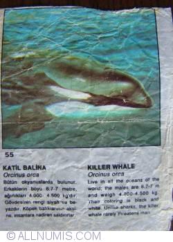 55 - Killer Whale (Orcinus orca)