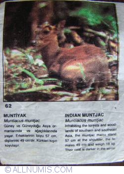 Image #1 of 62 - Indian Muntjac (Muntiacus muntjak)