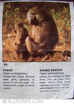 66 - Anubis Baboon (Papio cynocephalus)