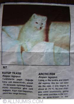 Image #1 of 67 - Arctic Fox (Alopex lagopus)