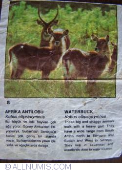 8 - Waterbuck (Kobus ellipsiprymnus)