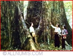 "Image #1 of Hà Nam Ninh - The milenial ""Cho"" tre in tne Cuc Phurong national Park"