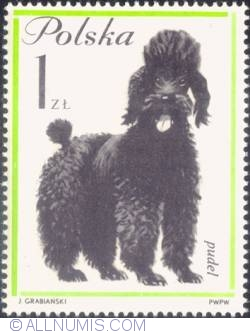 1 zloty - Poodle