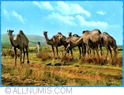 Image #1 of Lebanon - Camels