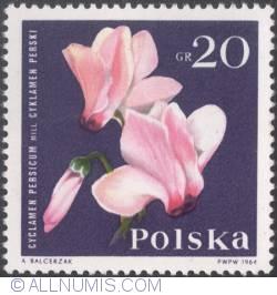 Image #1 of 20 groszy1964 - Cyclamen (Cyclamen persicum)