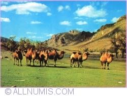 Image #1 of Zabhan Aimak - Mongolian Camels