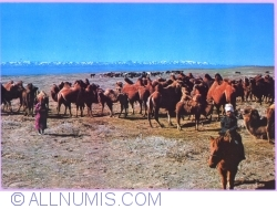 "Image #1 of ""A camel boy"" South Gobi"