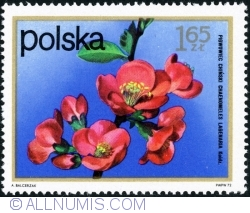 Imaginea #1 a 1,65 Złoty - Chinese quince (Chaenomeles lagenaria) 1972