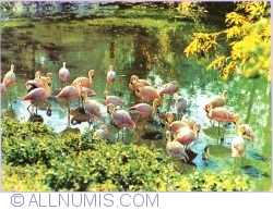 Image #1 of Chilean flamingo