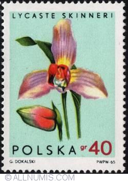 Image #1 of 40 groszy1965 -Bee orchid (Lycaste skinneri)