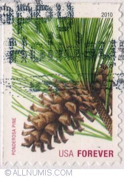 Image #1 of (44c.) First Class - Ponderosa Pine