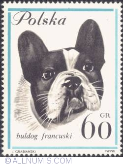 60 groszy - French bulldog