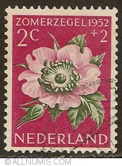 Image #1 of 2 + 2 Cent 1952 - Burnet Rose (Rosa pimpinellifolia)