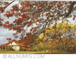 Image #1 of Martinique - Flame tree enchantment at Dizac estate (1984)