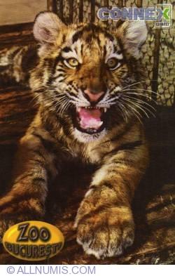 Image #1 of Tigru siberian (Panthera tigris altaica) - Zoo Bucureşti