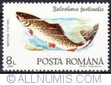 8 Lei - Salvelinus Fontinalis