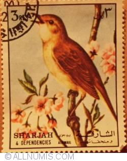 3 Rl Common Nightingale